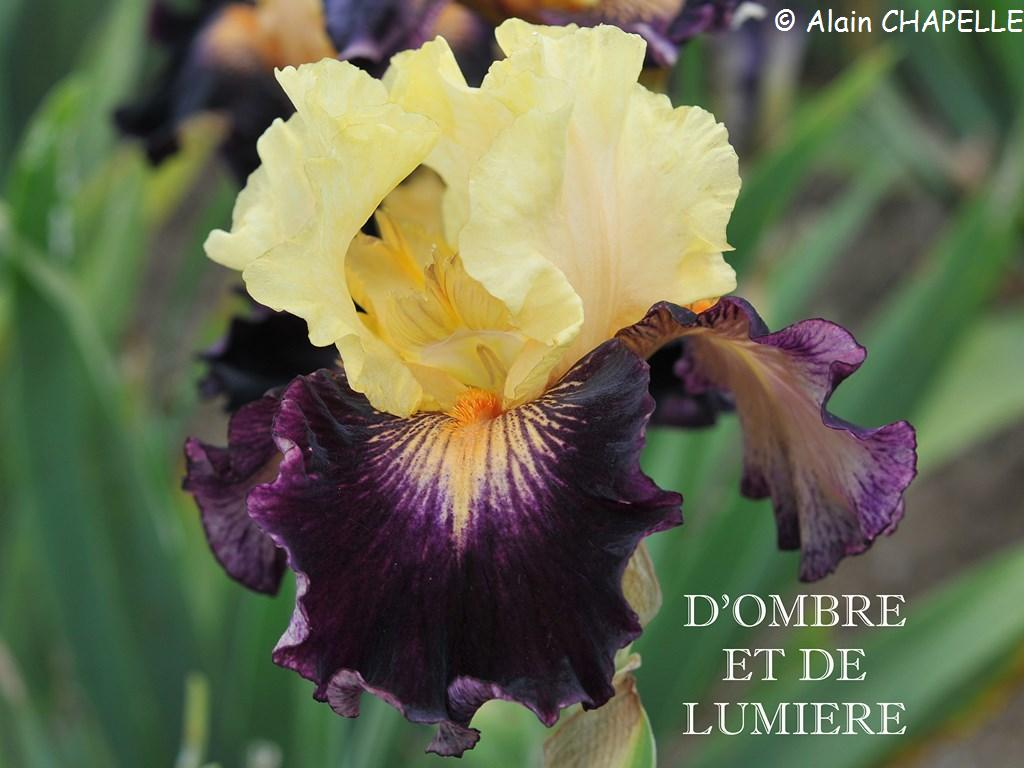 Le jardin d 39 iris bubry 56 collection d 39 iris for Jardin ombre et lumiere